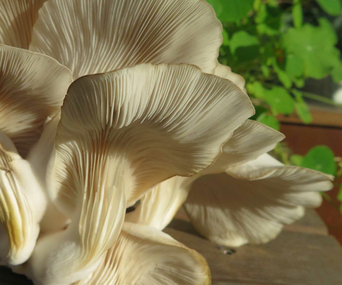 TagTomats SvampeUnivers: Dyrkning af spiselige svampe derhjemme