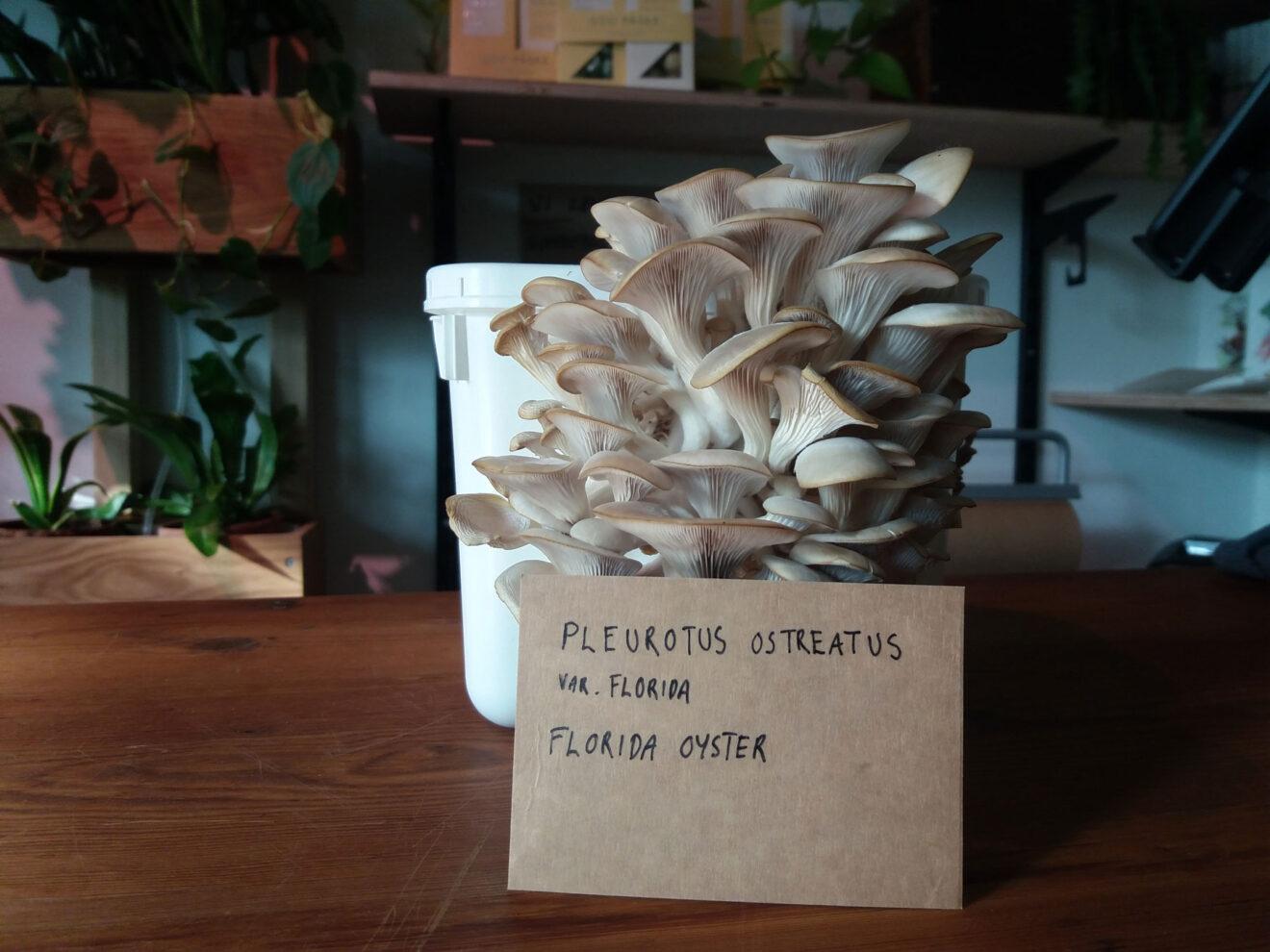Mycelium - 100g - Floridaøstershat
