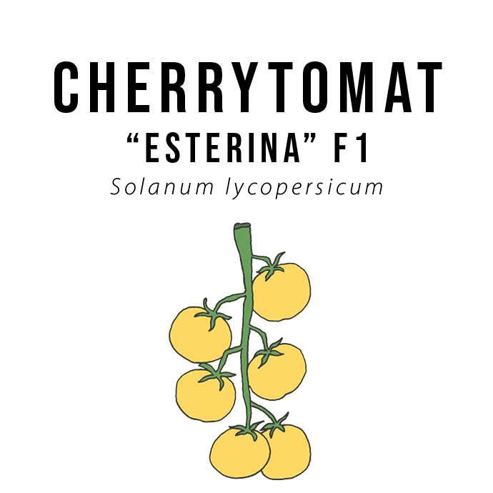 """Gul cherrytomat - """"Esterina"""" F1 - økologiske frø"""